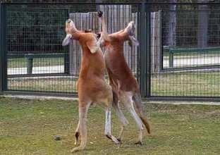 """Kanguruların """"boks maçı"""" kamerada"""