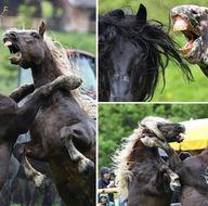 Avusturya'daki at dövüşünden kareler