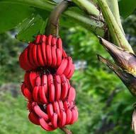 Ezber bozan meyve 'Red Dacca'