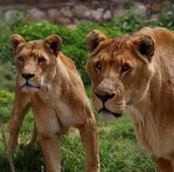 Udey Saddam'ın aslanları, ayrıcalıklı günlerini arıyor