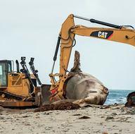 Ünlü sörf merkezine dev balina ölüsü kıyıya vurdu!