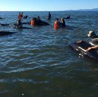 Yeni Zelanda'da 400 balina kıyıya vurdu