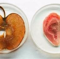 Elma dilimlerinden yapay kulak yaptılar