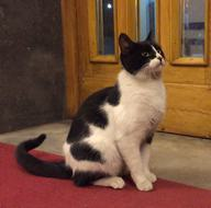 Meclis'in kedisi 'Kulis'e milletvekillerinin yoğun ilgisi