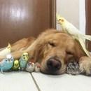 Bir köpek, bir hamster ve 8 kuşun dostluğu