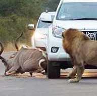 Güney Afrika'da otoyolda aslan dehşeti