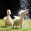 Hayvanların su keyfi
