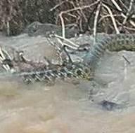 Manisa'da görüntülenen yılanla ilgili açıklama