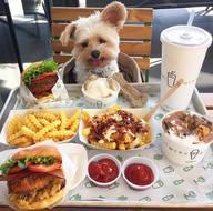 Sahiplenilen sokak köpeği şehirdeki tüm restoranlara tek tek götürülüyor