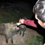 Tunceli'de yaban domuzlarını elleriyle besliyorlar