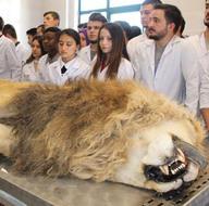 Yıldırım çarpmasıyla ölen aslan kadavra olacak