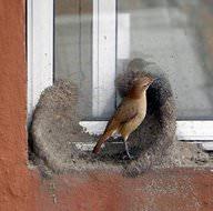Yuva yapan kuş kendisine hayran bıraktı