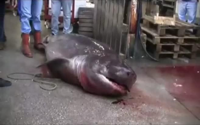 Marmara'da 4 metrelik köpek balığı yakalandı