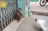 Maymun horozdan dayak yedi