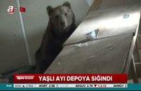 Yaşlı ayı depoya sığındı