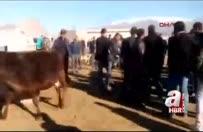 İnek hayvan pazarını birbirine kattı